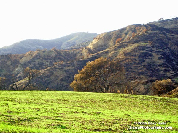 New sprouts of grass at Ahmanson Ranch less than a month after the Topanga wildfire burned 24,175 acres in the Simi Hills, northwest of Los Angeles.