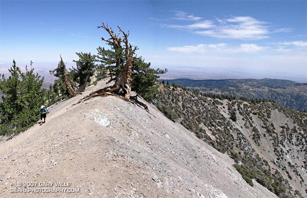 A grizzled guardian of the San Gabriel Mountains, the Wally Waldron Tree stands defiantly astride an airy, rock strewn ridge, just below the summit of 9399 ft. Mt. Baden-Powell.