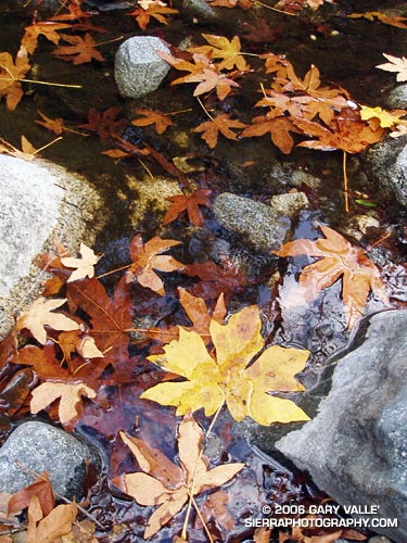 Fall leaves on Bear Creek, an isolated tributary of Arroyo Seco Creek.