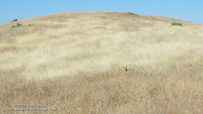 A comfortably camouflaged coyote watches me run past.