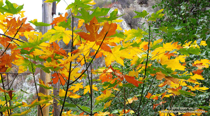 Colorful bigleaf maple leaves in Bear Canyon in the San Gabriel Mountains of Southern California.