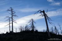 Trees near Three Points burned in the 2009 Station Fire