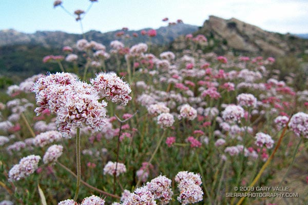 California Buckwheat (Eriogonum fasciculatum var. foliolosum) at Sage Ranch Park.