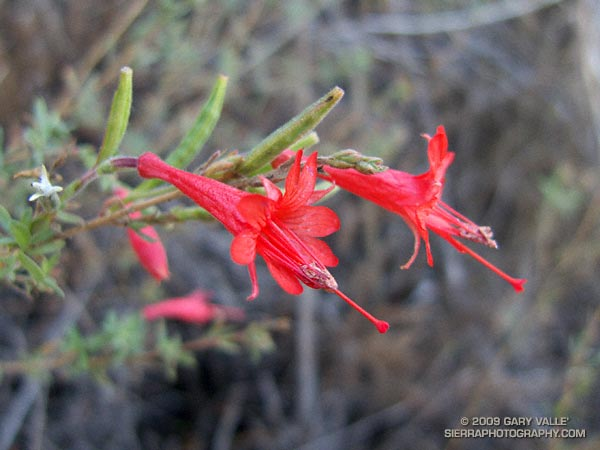 A California fuchsia in deep shade blooming in December in the Santa Monica Mountains.