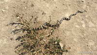 California kingsnake in Upper Las Virgenes Canyon Open Space Preserve