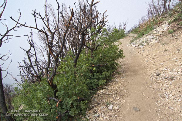 Burned in the 2008 Bighorn Fire, the chaparral above Bear Flat had a surprising amount of new growth.