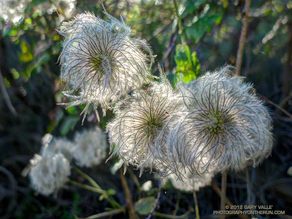 Seed heads of chaparral Clematis (Clematis lasiantha)