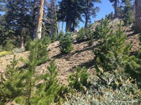 Regrowth of lodgepole pines along the PCT near peak 8426 following the 2002 Curve Fire.