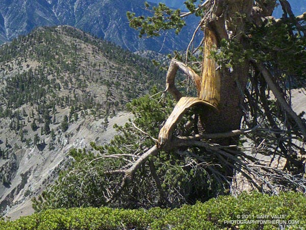 Closer view of a lodgepole pine near summit of Mt. Baden-Powell that appeared to have been damaged in an ice storm over the 2010-11 Winter. July 3, 2011.