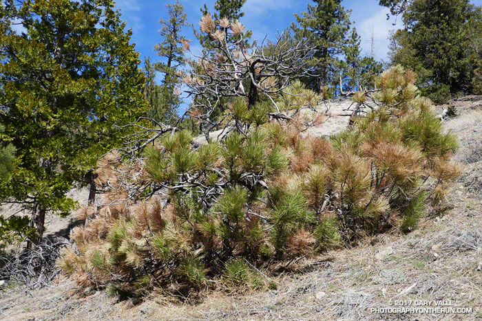 A drought-stressed young pine on a dry, south-facing slope along the PCT between Cooper Canyon and Cloudburst Summit. March 18, 2017.