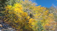 Gold hues of big leaf maple along the Big Horn Mine Trail.