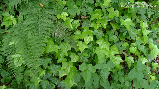 Poison oak mixed in with English ivy, blackberry and other greenery