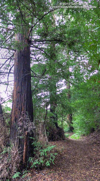 Coast redwoods along the Forest Trail in Malibu Creek State Park