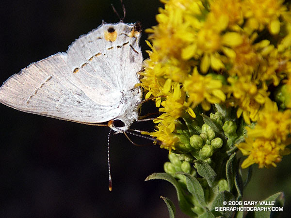 Sylvan Hairstreak (Satyrium sylvinus) on California Goldenrod (Solidago californica)