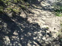 Hard to see rattlesnake on the PCT a few miles west of Bouquet Canyon.