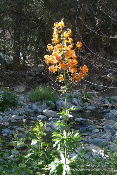 Spectacular cluster of about 40 flowers on a Humboldt lily along the Gabrielino Trail. July 16, 2011.
