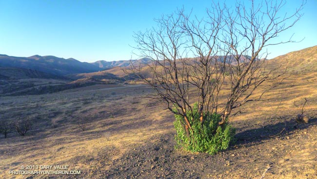 Crown-sprouting laurel sumac in Pt. Mugu State Park following the Springs Fire.