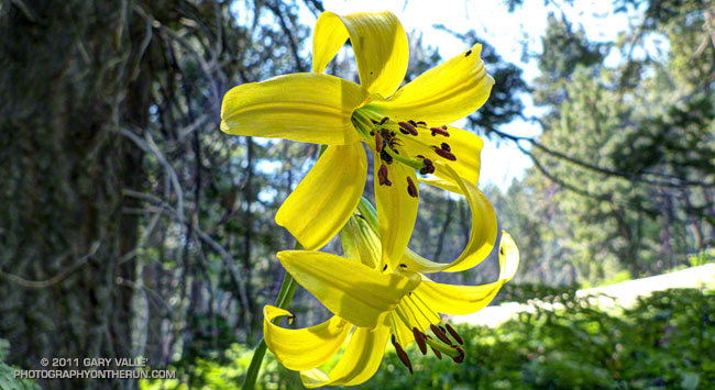 Lemon lily near Skunk Cabbage Meadow in the San Jacinto Wilderness. July 23, 2011.