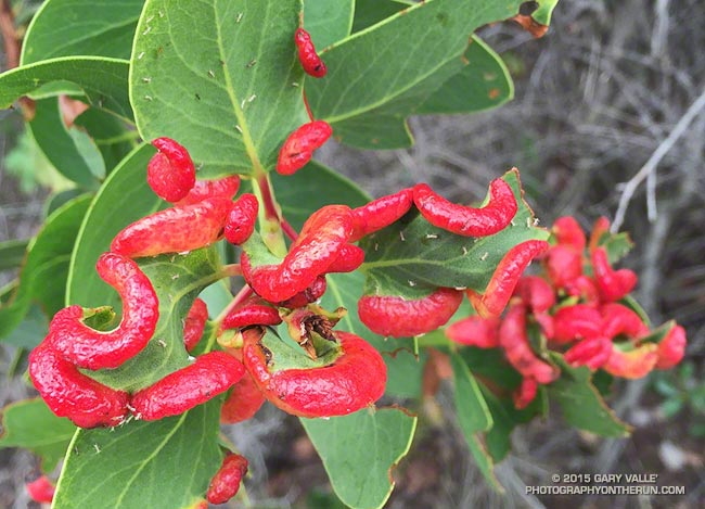Manzanita Leaf Galls and Aphids