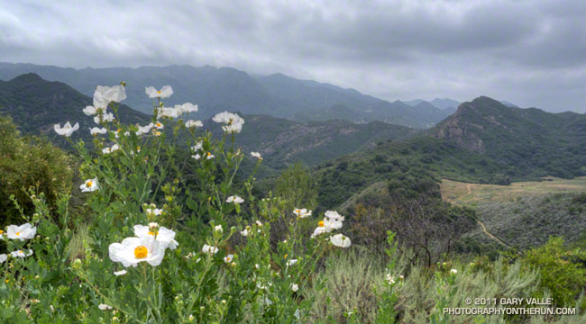 Coulter's Matilija poppy (Romneya coulteri)