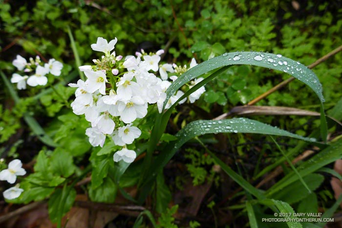 Milkmaids (Cardamine californica) along the Serrano Canyon Trail in Pt. Mugu State Park.