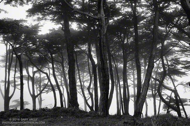 Monterey pines in Land's End Park