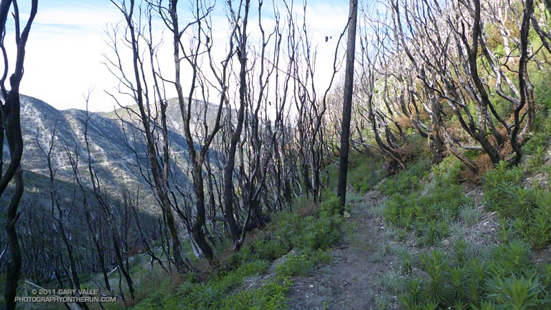 Burned section of the Mt. Disappointment Trail. Mt. Lowe and Truck Trail in the background. May 21, 2011.