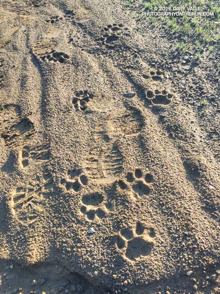 Mountain lion tracks on Temescal Ridge Fire Road #30, north of the Hub. March 12, 2016.