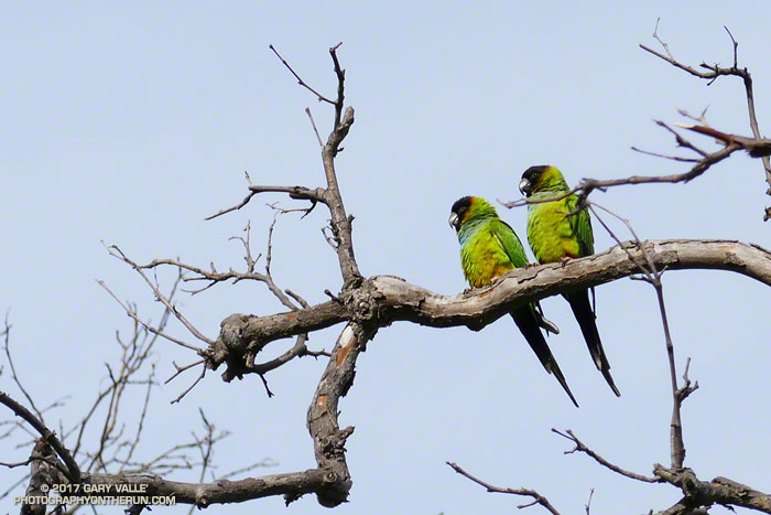 Black-hooded Parakeets (Nandayus nenday) in Big Sycamore Canyon
