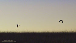 Pair of northern harriers, hunting at dusk, on Lasky Mesa