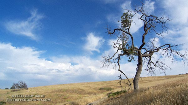 Valley oak on Lasky Mesa, with a line of thunderstorms in the distance.