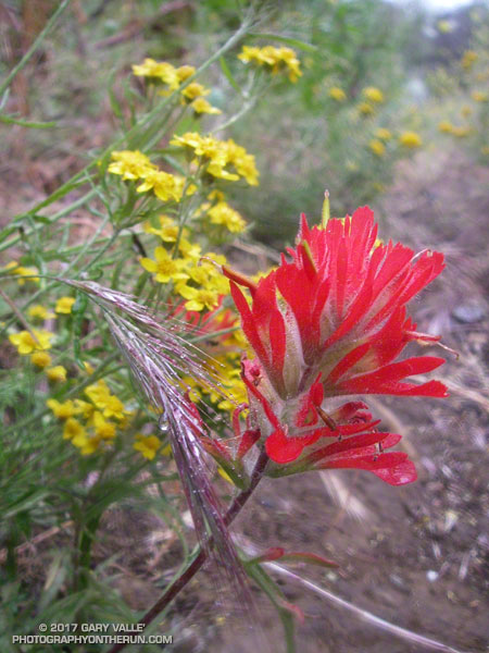 Paintbrush and Golden Yarrow Along the Old Boney Trail