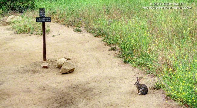 A rabbit waits at the top of Cheeseboro Canyon