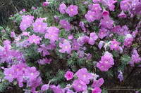 Rain-soaked prickly phlox (Linanthus californicus)