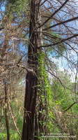 Apparently dead coast redwood at Malibu Creek State Park