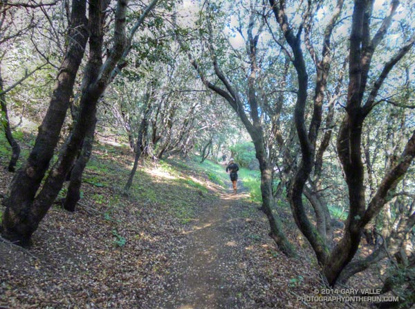 Running through oaks on the PCT during the Leona Divide 50 mile ultrarun.