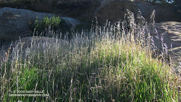 Greening grass at Sage Ranch Park
