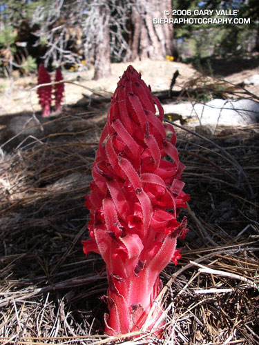 Snow Plant (Sarcodes sanguinea) is so different from the norm that each encounter is memorable.