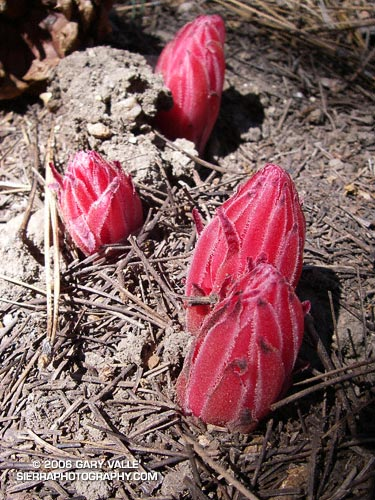 Snow plant pushing up through detritus.