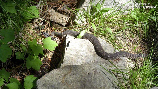 Southern Pacific rattlesnake on the Burkhart Trail below Buckhorn at about 6200 feet in the San Gabriel Mountains