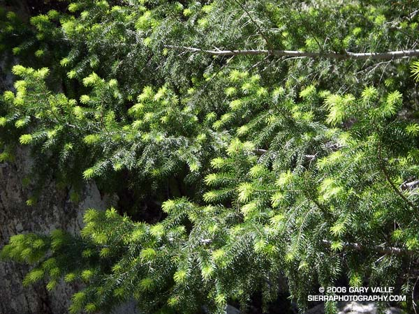 New growth on a Big Cone Douglas Fir (Pseudotsuga macrocarpa) in the San Gabriel Mountains.