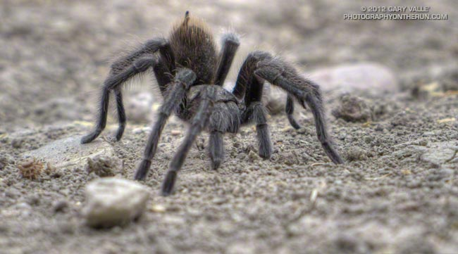 Tarantula at Ahmanson Ranch