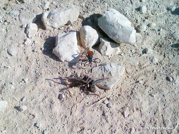 This female tarantula hawk wasp has just attacked and paralyzed the tarantula. The photo is by Lynn Longan and was taken on a run in Las Llajas canyon in July 2008.