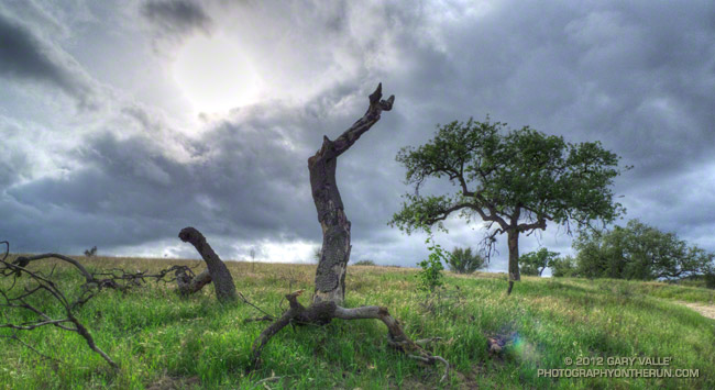 Valley oak at Ahmanson Ranch killed by 2005 Topanga Fire