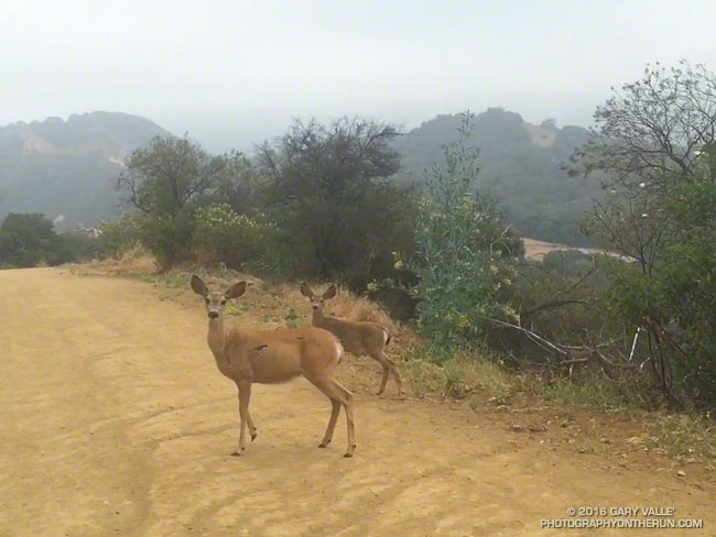 Mule deer near Trippet Ranch in the Santa Monica Mountains