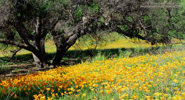 California poppies along the Two Foxes Trail in Pt. Mugu State Park