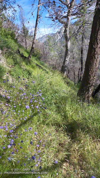 Overgrown trail in upper Bear Canyon. The blue flowers are bluehead gilia (Gilia capitata). May 21, 2011.