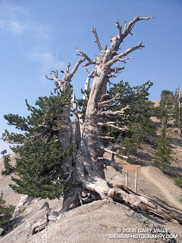 The Wally Waldron Tree is estimated to be 1500 years old.