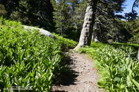 Corn lilies and ferns along the Wellman Divide Trail.