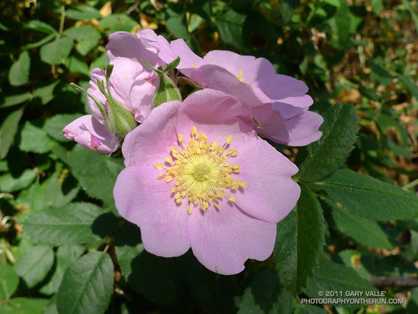 California wild rose in Upper Las Virgenes Canyon. July 4, 2011.